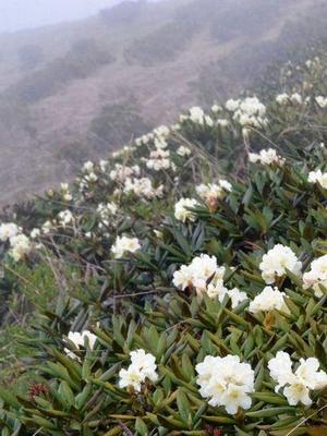 sagan daylya mesta sbora 1 - Саган-Дайля — ароматная трава для чая